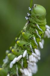 caterpillar hornworm wasp parasite magro green