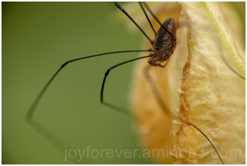 insect arachnid harvestman daddylonglegs macro