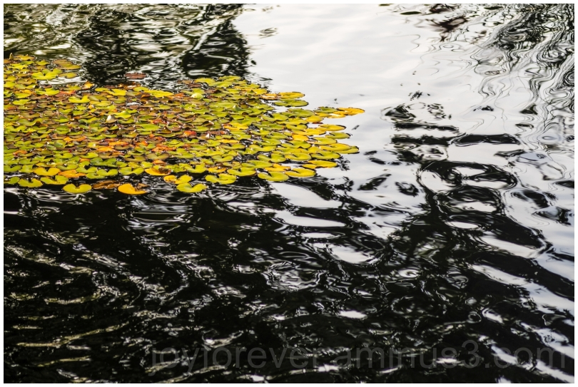 waterlily pond leaves plants water ripples Botanic