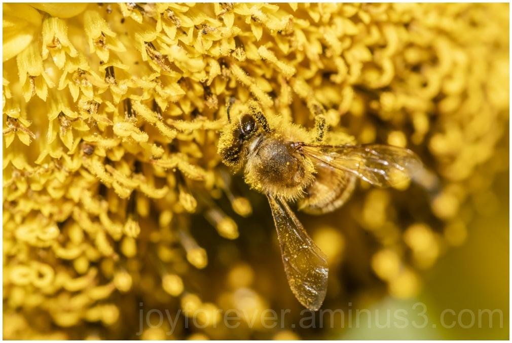 bee honeybee macro pollen flower sunflower insect