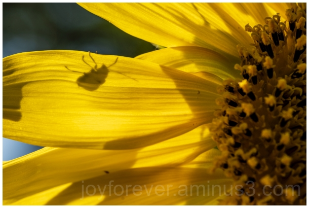 beetle shadow macro flower sunflower insect