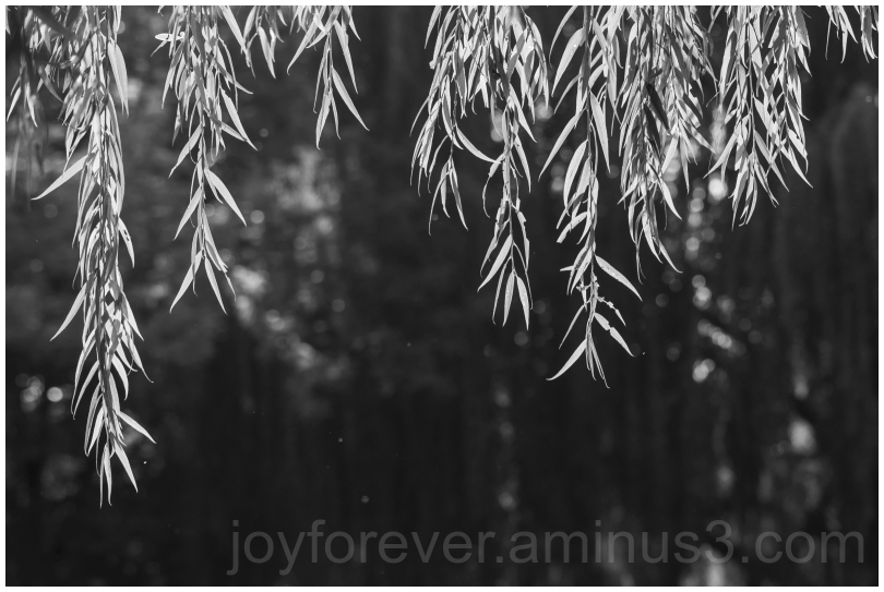 willow tree willowtree black&white B&W leaves