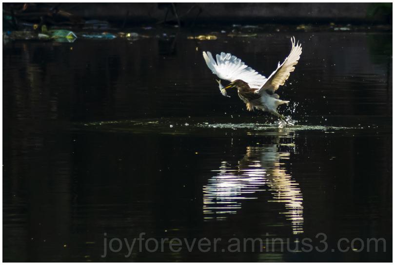 Heron bird pond fish water hunting wildlife India
