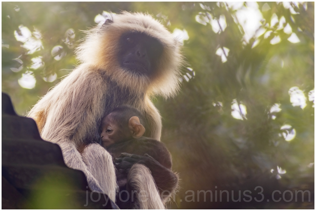 monkey langur Hanuman animal primate wildlife