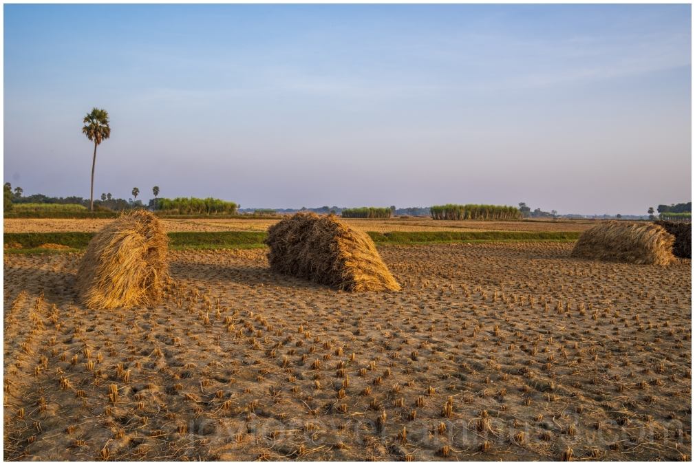 Haystack rice crop harvest field palm village
