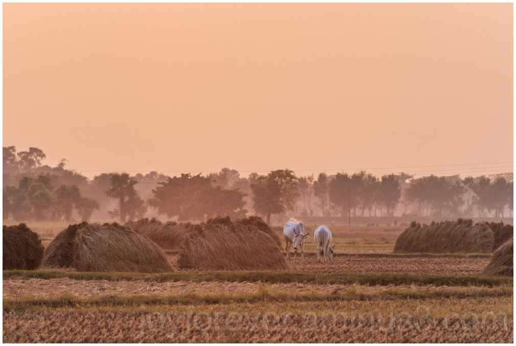 Haystack rice crop harvest field sunset village ox