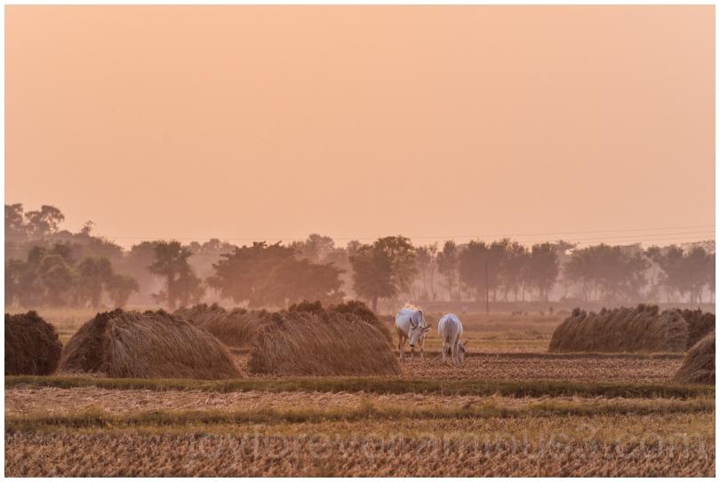 Haystack rice crop harvest field sunset village ox