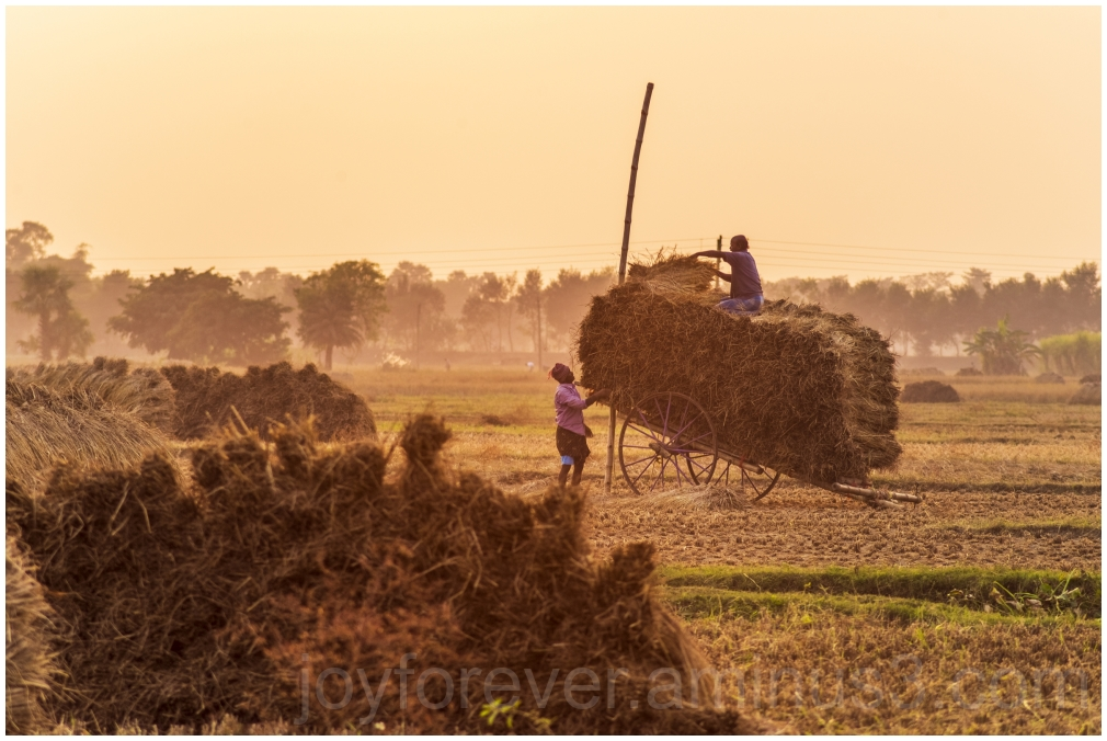 Haystack rice crop harvest cart sunset village