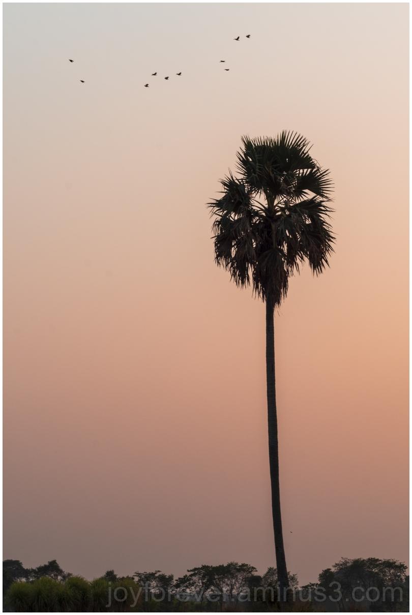 palm tree birds field sunset village Bengal India