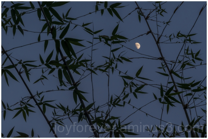 moon bamboo plants trees sky night silhouette
