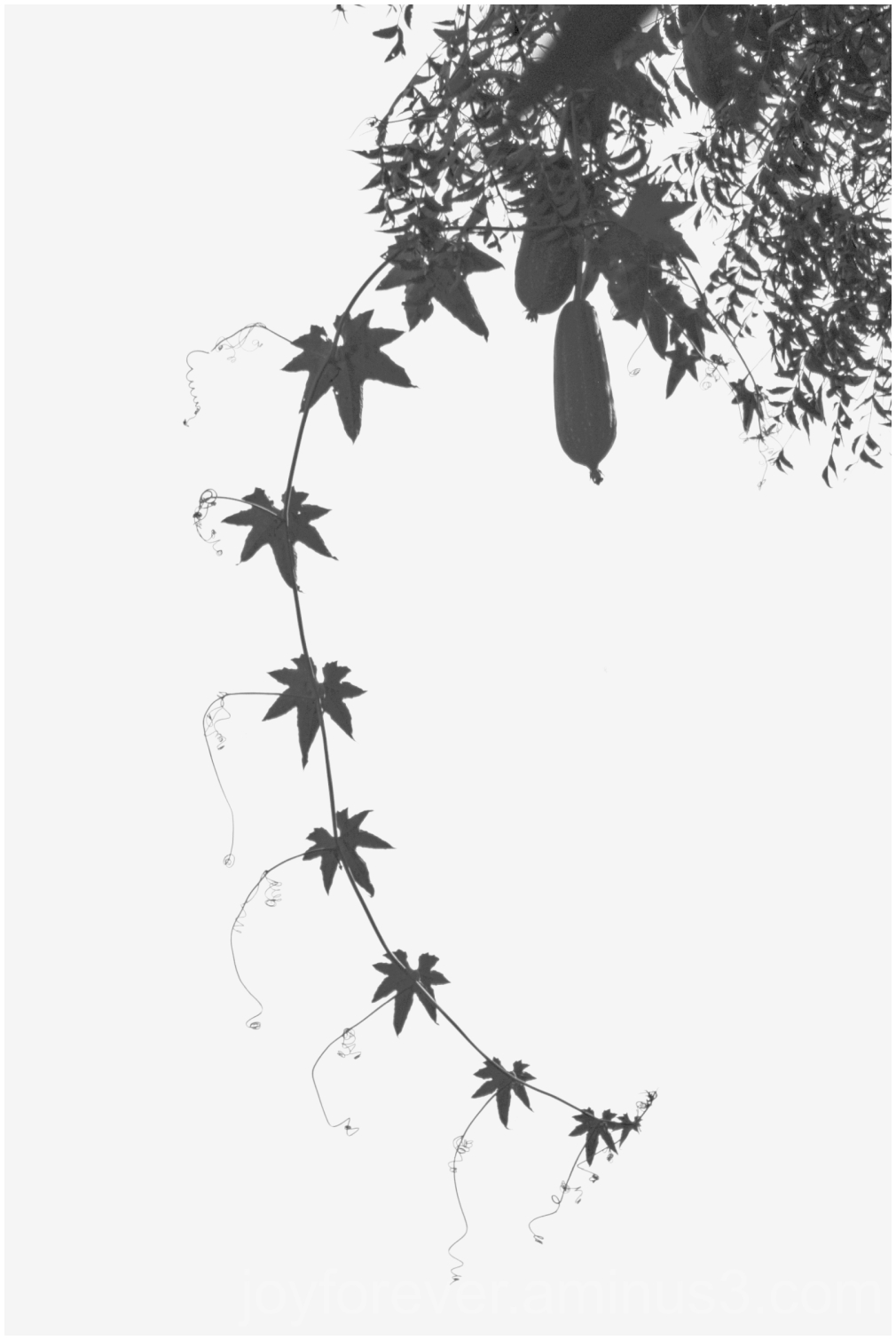 creeper vine silhouette leaves tendrils art design