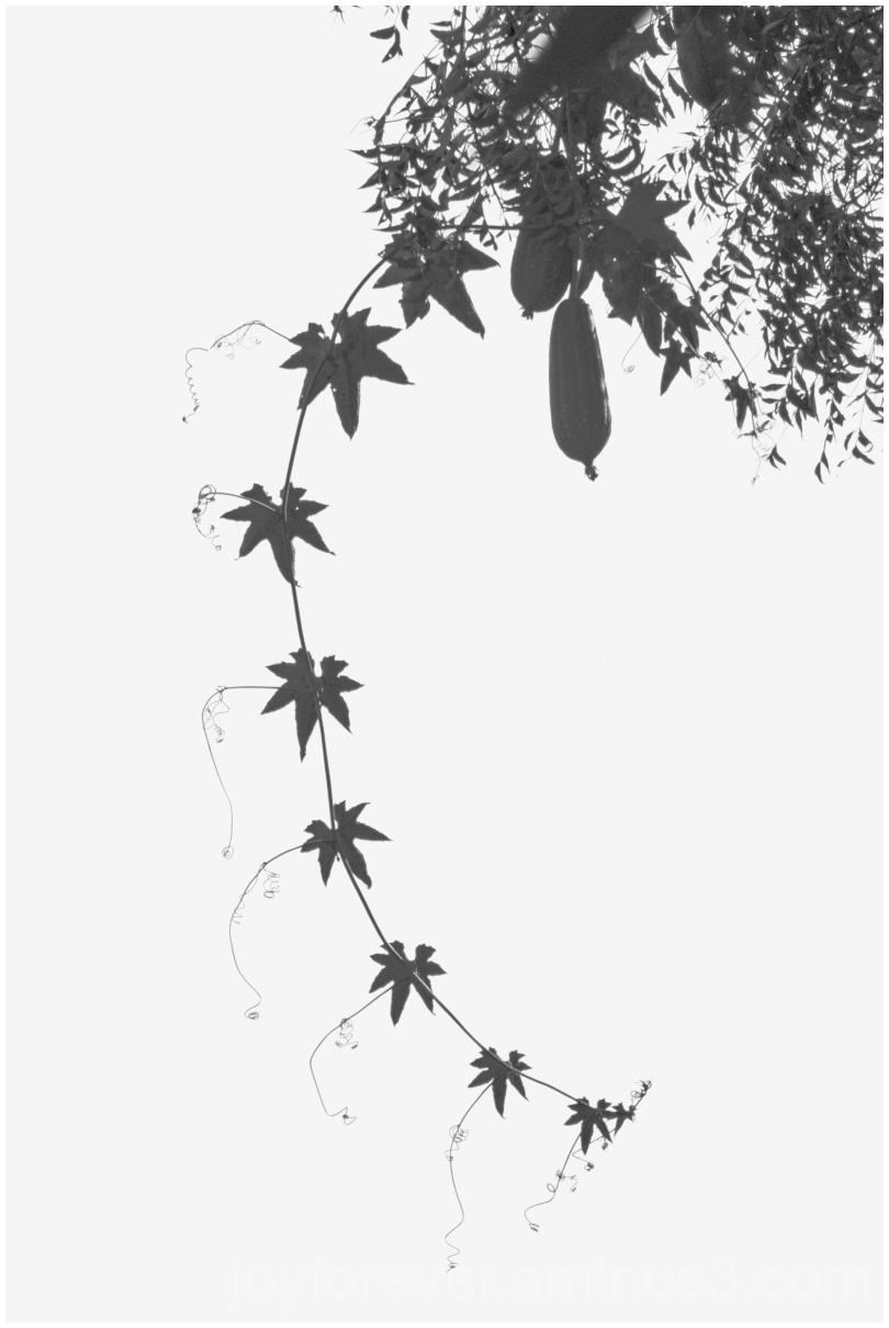 creeper vine silhouette leaves tendrils art design