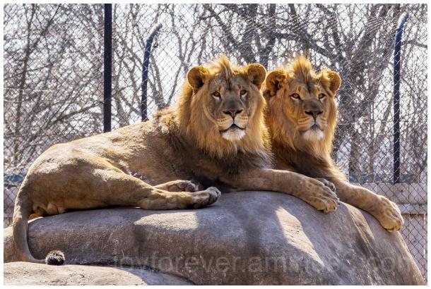 lion animal feline zoo two Madison Wisconsin