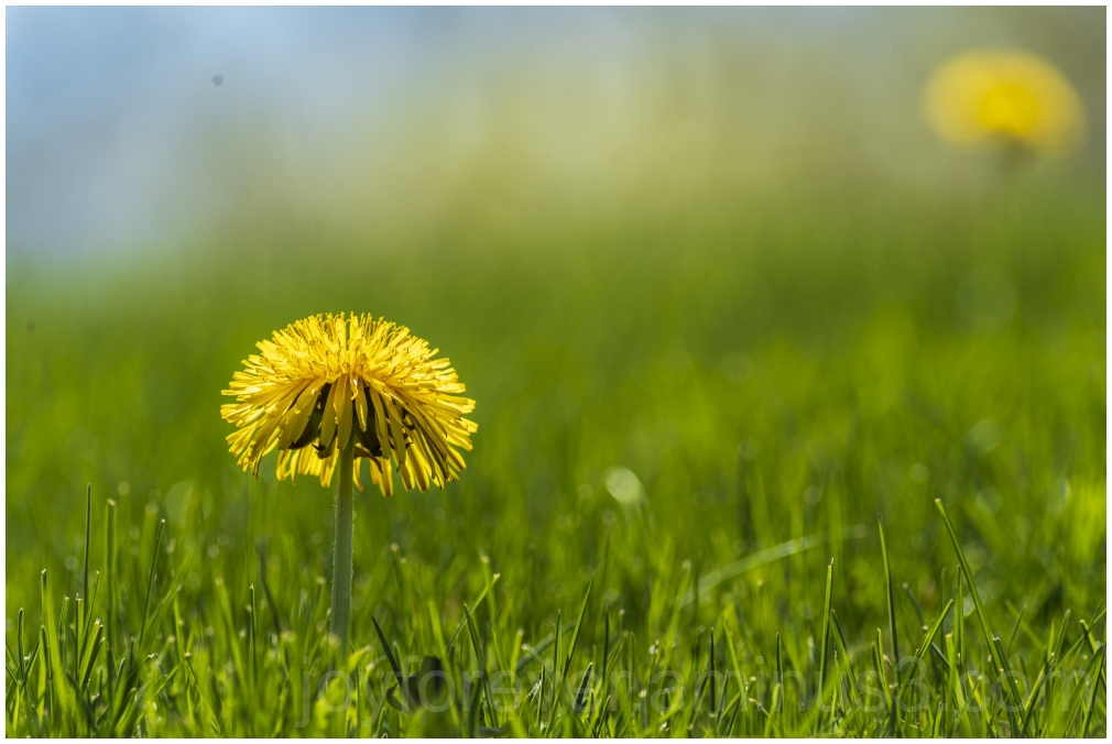 dandelion flower grass yellow macro spring