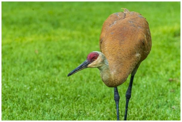 sandhill crane bird Madison arboretum
