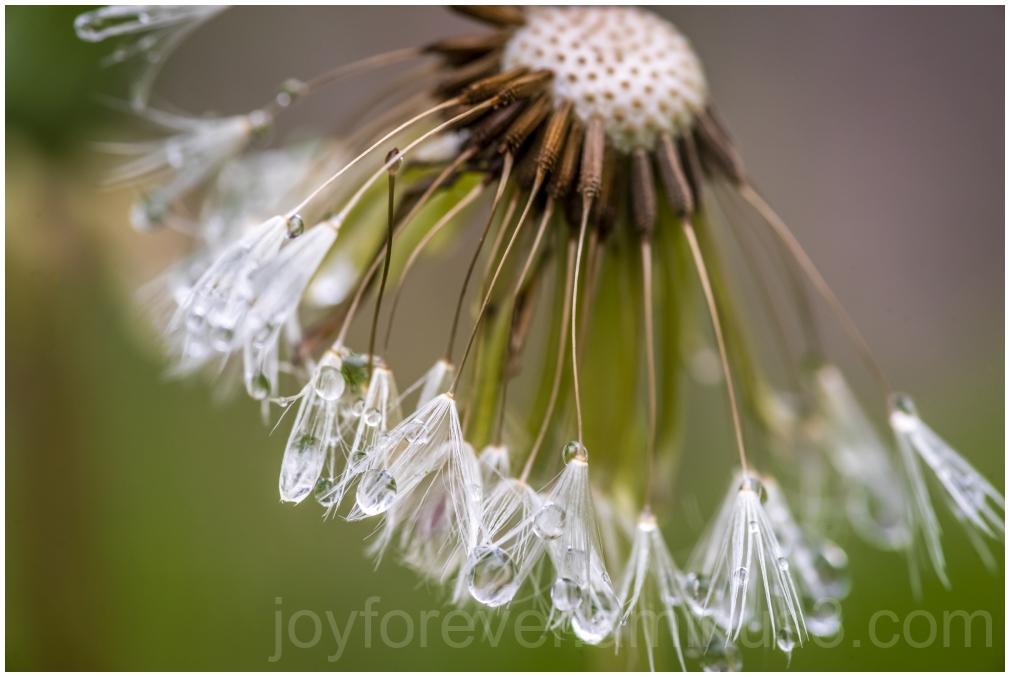 dandelion flower macro seed pod white water drops