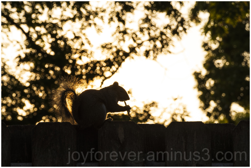 squirrel rodent animal sunset evening silhouette
