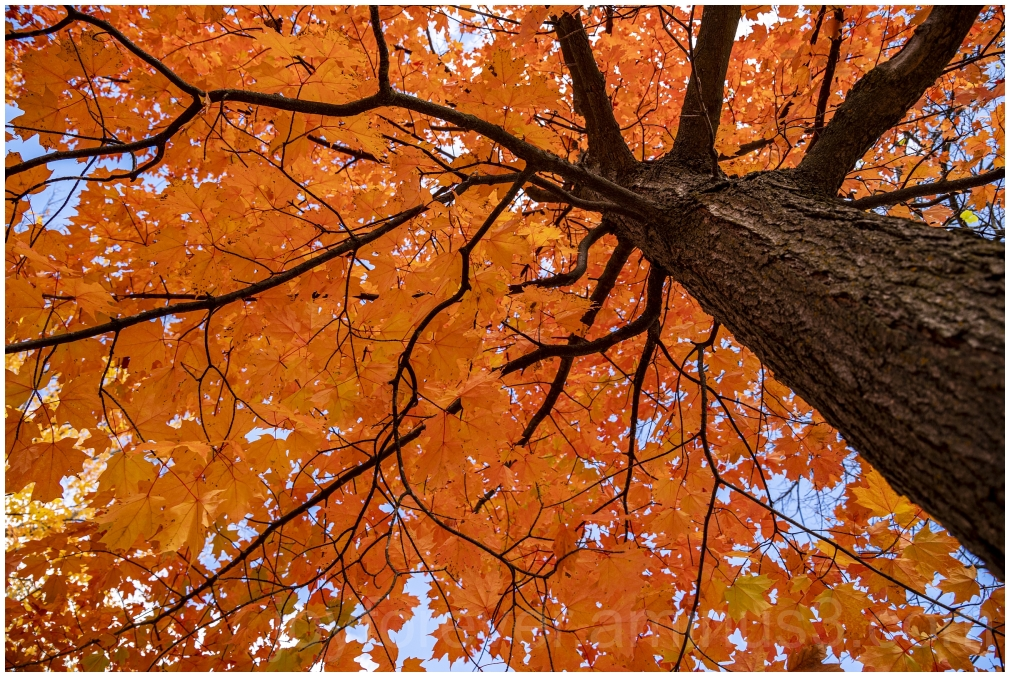 Maple tree fall foliage orange leaves FallFoliage