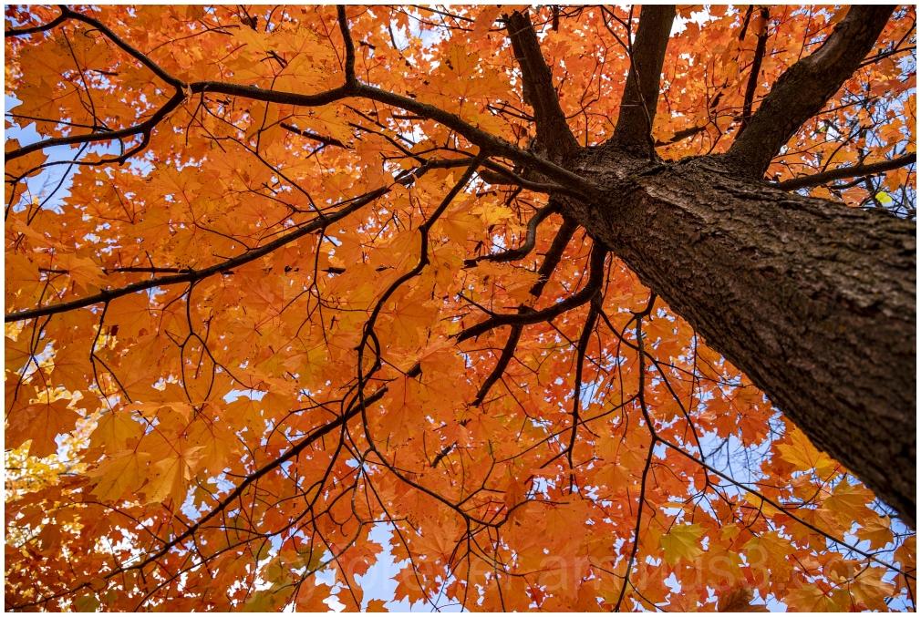 Maple tree fall foliage orange leaves FallFoliage