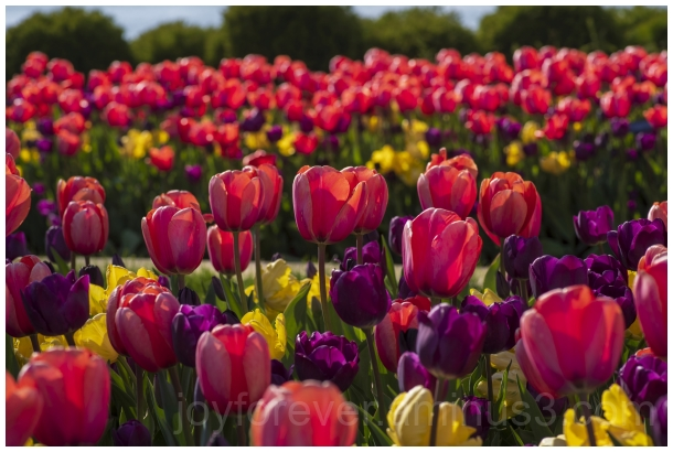 spring flower tulip blossom colorful colourful