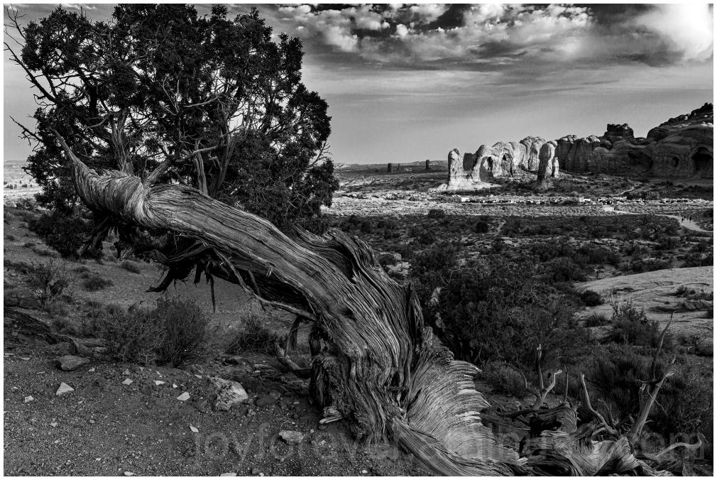 ArchesNationalPark ParadeOfElephants Utah B&W tree