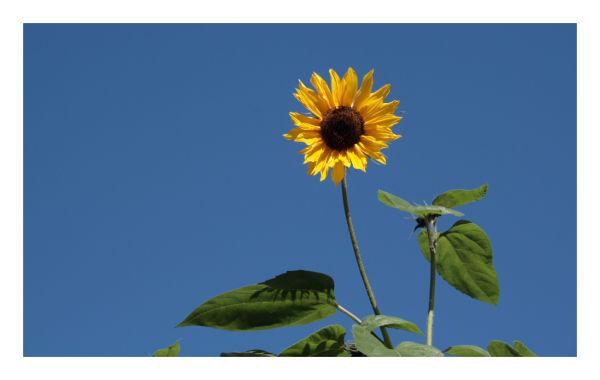 Planet Sunflower