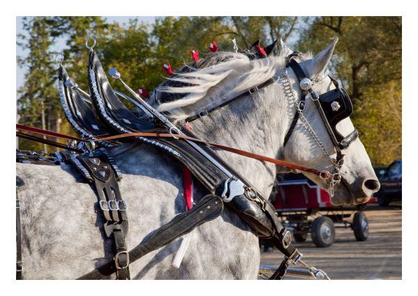 .. heavy horse ..