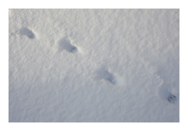feral snowprints