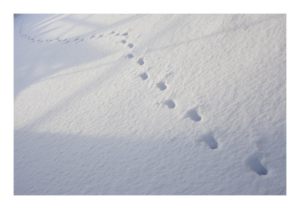 fresh feral cat snowprints