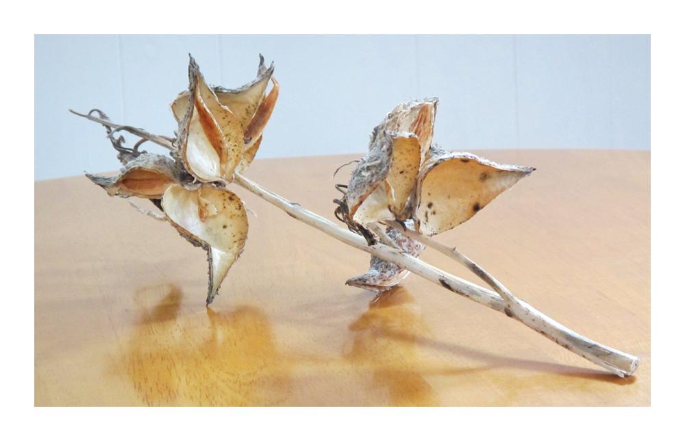 .. Milkweed Dancing ..