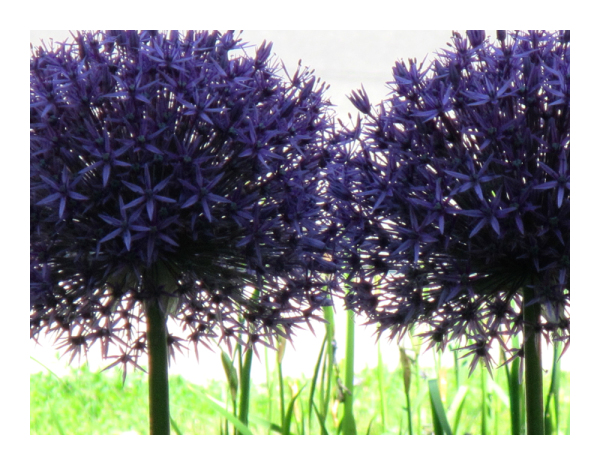 .. purple allium ..