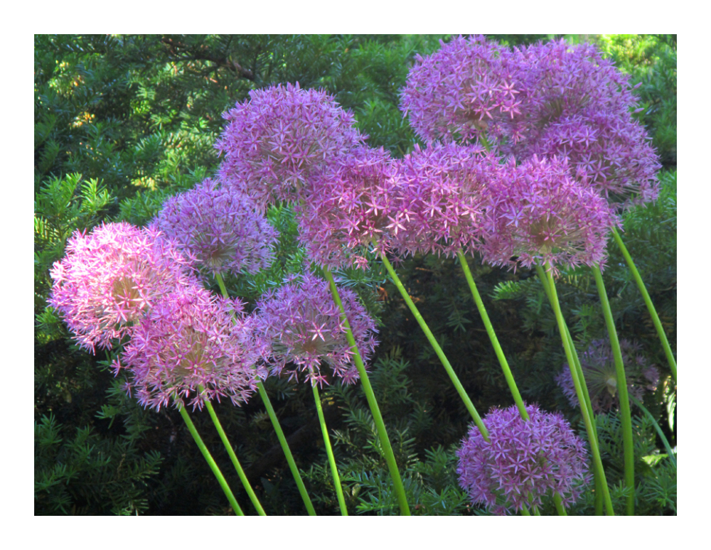 .. an allium conversation, leaning left