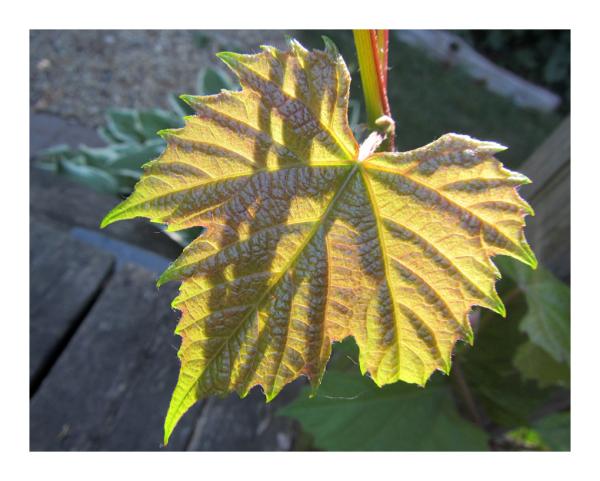 .. grapevine leaf - morning backlight