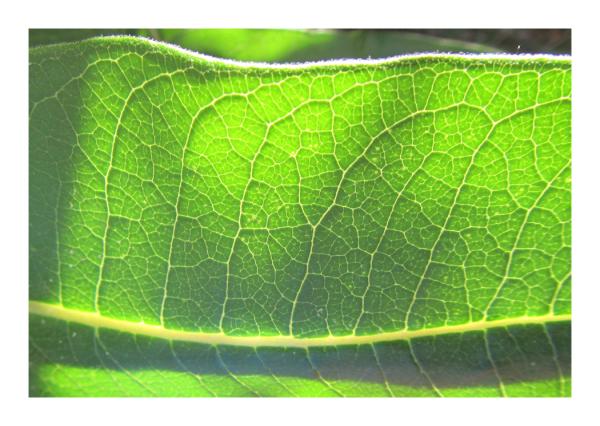 .. leaf structure .. milkweed