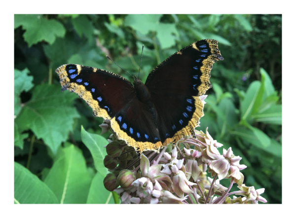 .. Mourning Cloak ..