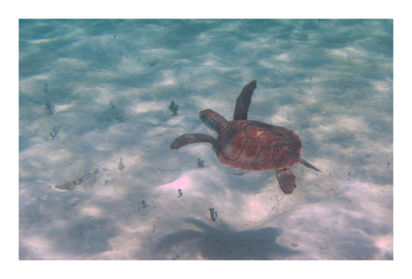 .. Turks n Caicos Sea Turtle