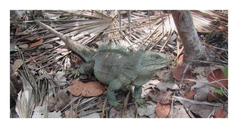 Rock Iguana