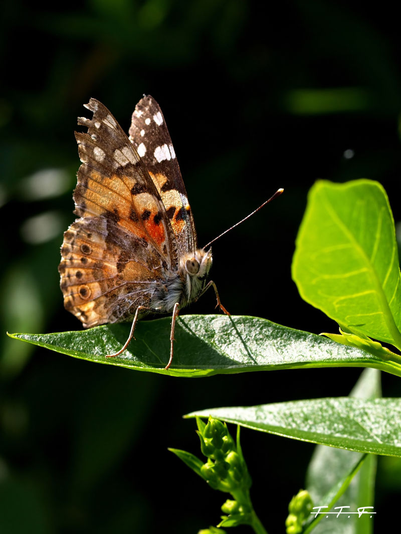 Papillon !!!