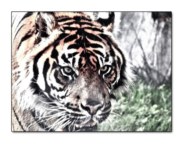Un tigre !!!