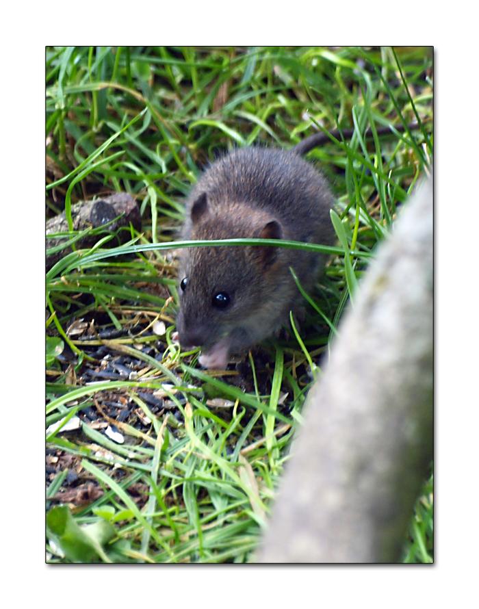 Festin de Rat ...
