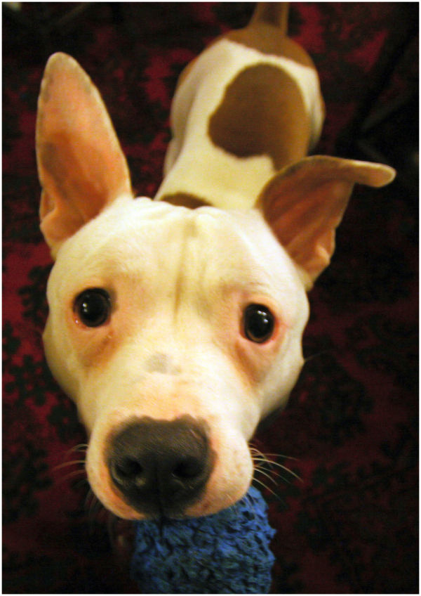Staffordshire Bull Terrier - Staffy