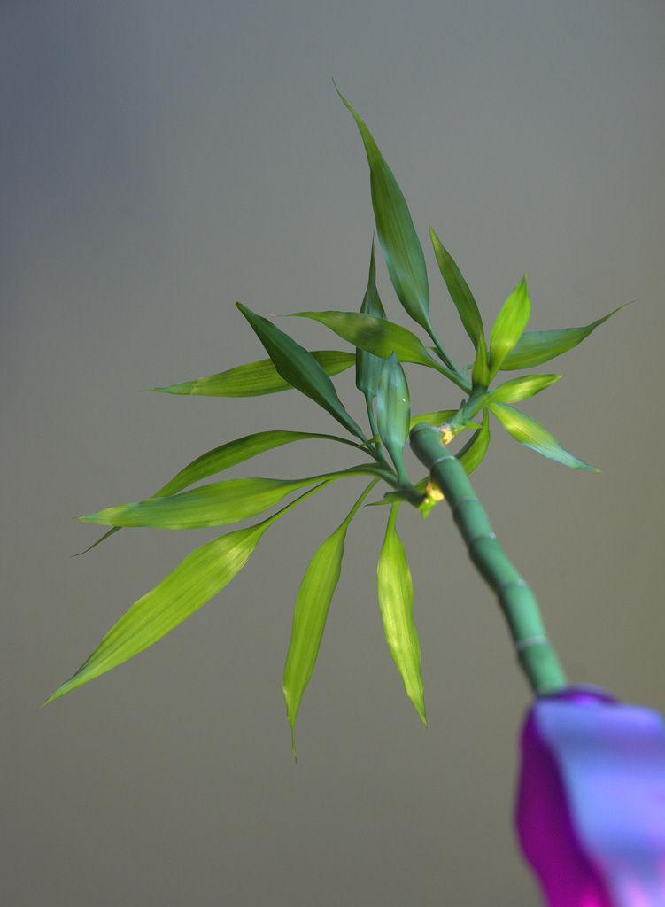 B - Bambu
