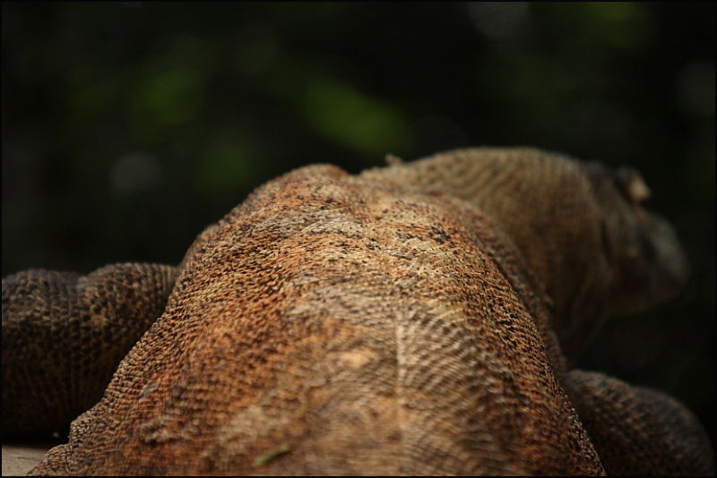 the big lizard