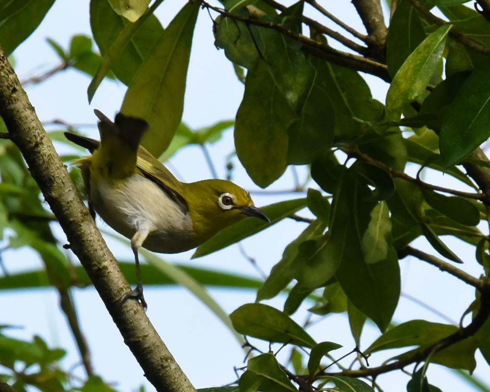Warbling white-eye (綠繡眼)
