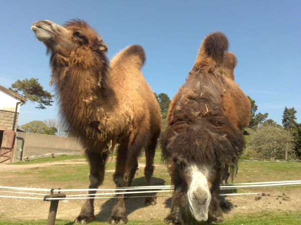 camels swapped for wives