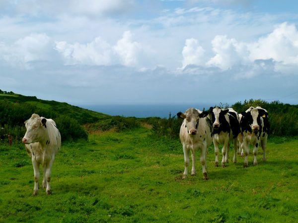 cow island cows dark dude