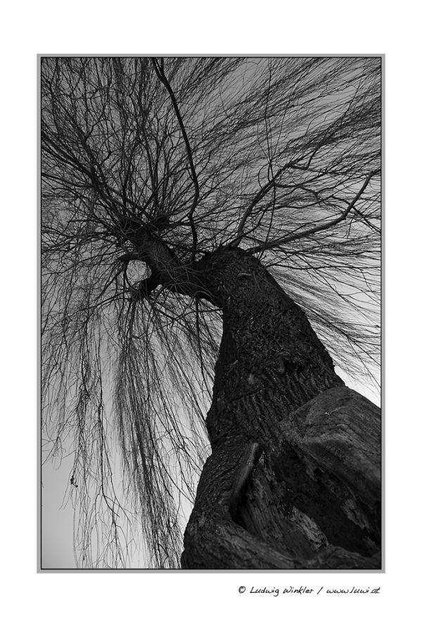 weeping willow / Trauerweide