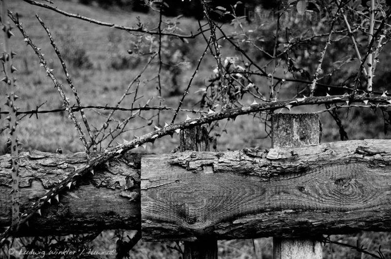 thorn in batten fence