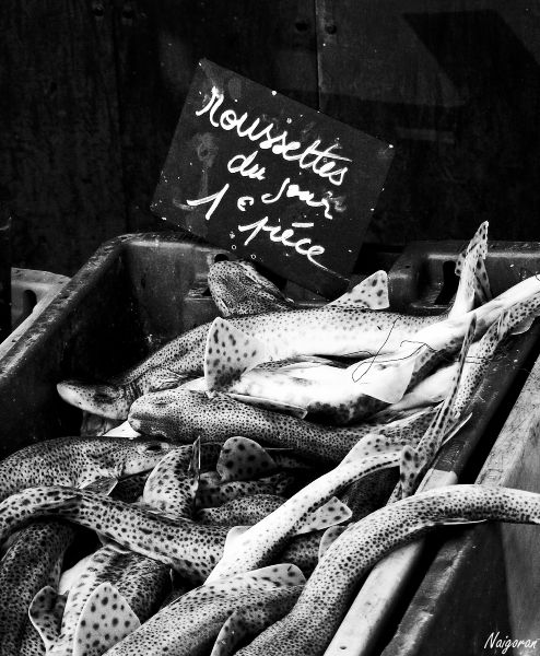 Fishes from North Sea