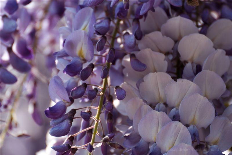 King's Flowers 4/6